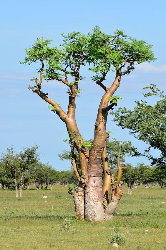 Moringa Oleifera, a planta mágica – Eduardo Merino